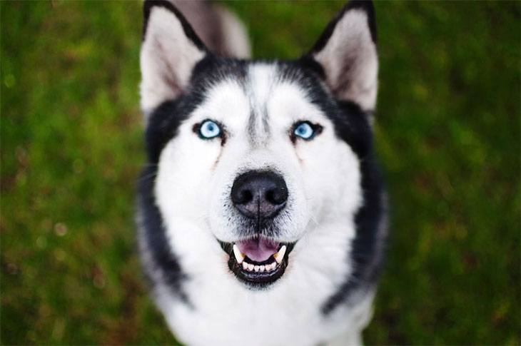 why are huskies so vocal